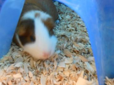 Je vous présente Brown Belly, notre cochon d'inde trop choupinou.